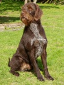 SH CH Midtlias C-Hager the Horrible (Imp). He is the first undocked show champion GWP in this country