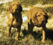 Hungarian Wirehaired Vizslas - Gonegos Swaledale and Zachary des champs des dunes at Gonegos